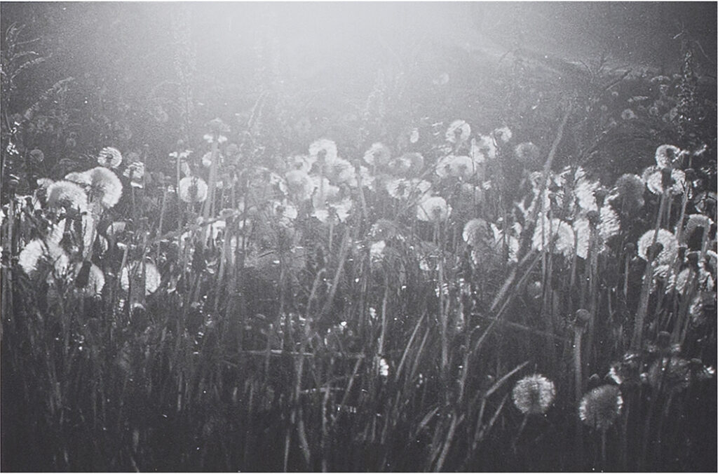 Close up black and white photograph of dandelions with sunlight