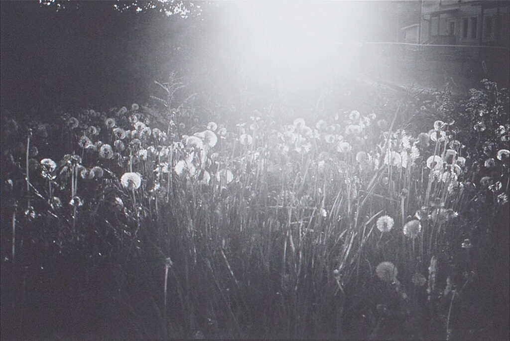 Photograph of dandelions with sunlight